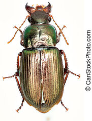 Green Ground Beetle Harpalus on white Background - Harpalus...