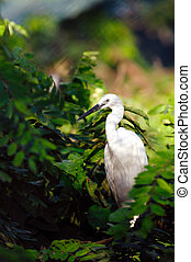 Egrret - Greate intermediate egret at a locl zoo