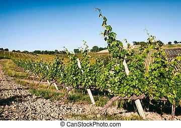 Vineyard fields in Marche, Italy - Vineyard fields against a...