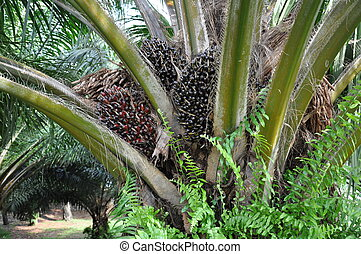 Palm oil fruits on tree - Bunch of palm of fruits on tree