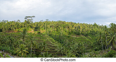 Green rice fields on Bali island, Jatiluwih near Ubud, Indonesia