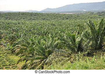 Palm oil estate - Palm oil plantation in view