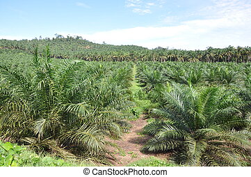 Young palm oil estate without fruits