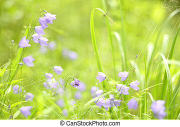 Bluebell in grass - Wild beautiful bluebell flowers in...