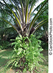Palm oil tree - One of the palm oil tree in estate There a...