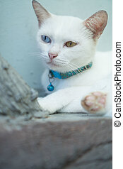 Closeup White Turkish Angora cat with heterochromia eyes on...
