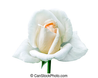 Single white rose on isolated white background.