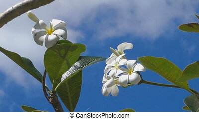 Plumeria flower, blue sky - Flowers of white plumeria...