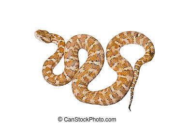 Venomous snake - A close up of the venomous snake...