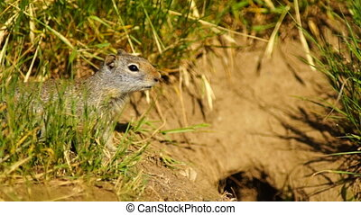 Prarie Dog Near Den Tetons National Elk Refuge Jackson...