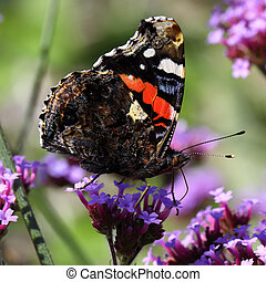 Red admiral butterfly Vanessa atalanta - The Red Admiral...