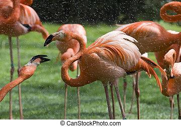 Flamingo Portrait, Mnagerie du Jardin des Plantes, Paris,...