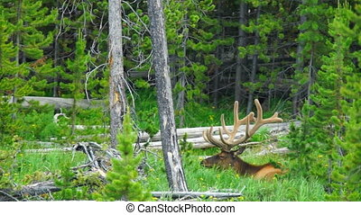 Large Bull Elk Western Wildlife Yellowstone National Park -...