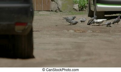 Pigeons fighting on the ground. Birds near a car. Hunger and...