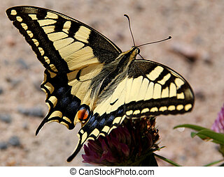 Papilio Machaon, Swallowtail Butterfly - A close up of a...