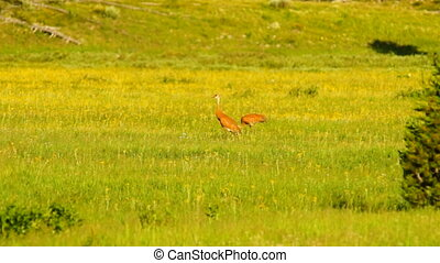 Sandhill Crane Wild Bird Couple Feeding Yellowstone National...