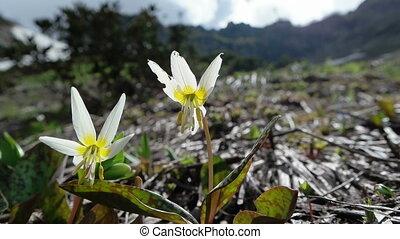 Erythrnium caucasicum