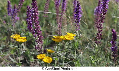 blossoming sage and yellow flowers on a summer meadow