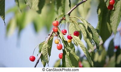 Ripening cherries on a branch sways in the wind