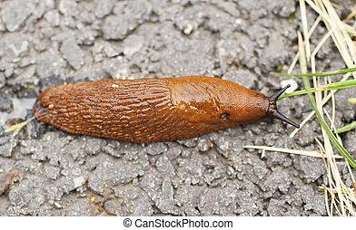 red slug - close photo of large red slug