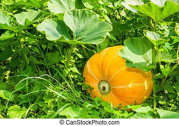 yellow pumpkin in the green grass