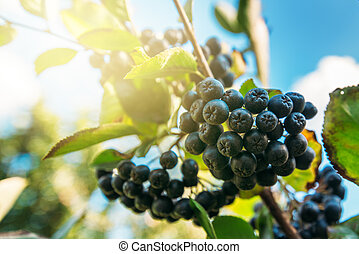 Fruitful ripe aronia berry fruit on the branch, selective...