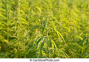 green industrial hemp