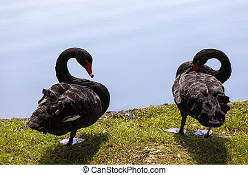 a pair of black swans on a lake in the park