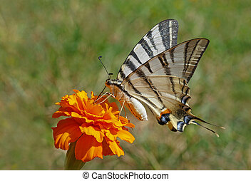 Scarce Swallowtail butterfly on marigold flower