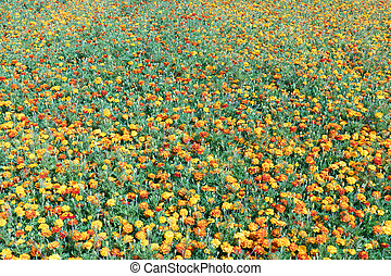 Tagetes plants. - Field with Tagetes plants flowering in...