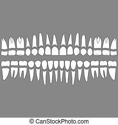dentition teeth and roots - dentition , white teeth and...