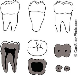 molar tooth with different angles and in the context