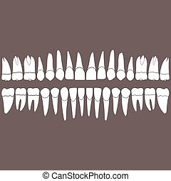dentition teeth - dentition , white teeth and the roots on a...