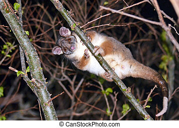 Australian Common Ringtail Possum - Cute and curious...