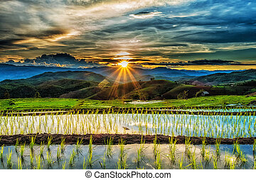 Sunset over the rice field.