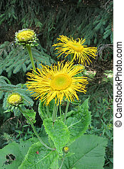 Heartleaf Oxeye or Yellow Oxeye (Telekia speciosa) in the...