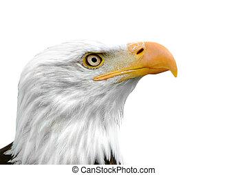 Bald Eagle isolated - American Bald Eagle isolated