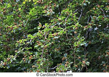 Fagus sylvatica or European beech.