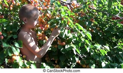 Boy collects apricots - Boy with a naked torso on a hot...