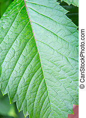 green leaf with streaks closeup