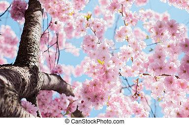 Cherry Blossoms Photo in Tilt Shift
