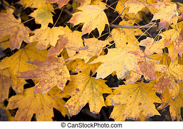 Dry yellow leaves