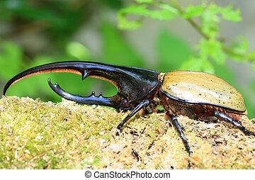 Hercules beetle Dynastes hercules in Ecuador