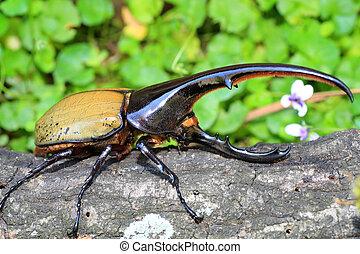 Hercules beetle (Dynastes hercules) in Ecuador