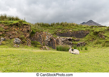 sheep grazing on hills of connemara in ireland - nature and...