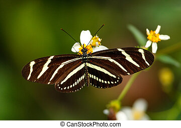 Zebra Longwing butterfly (Heliconius charithonia) on a...