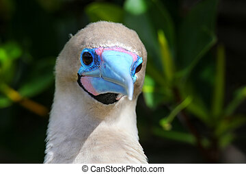 Portrait of Red-footed Booby (Sula sula) on Genovesa island,...