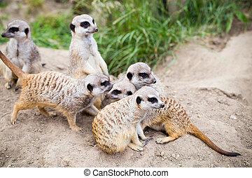 Meerkat, Suricata, suricatta also known as the suricate....