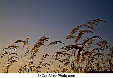 Cereals on the sky background - Shoot of the Cereals on the...