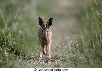 European brown hare, Lepus europaeus, single mammal on...